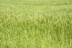 Zbliżenie zielony jęczmienia pole Fotografia Stock