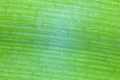 Zbliżenie zielony liść tropikalna roślina z podłużnym li Obraz Royalty Free