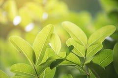 Zbliżenie zielony liść z natury tłem Zdjęcie Stock