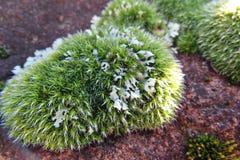 Zbliżenie Zielony mech i zieleń liszaj na skale obrazy royalty free