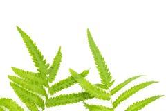 Zbliżenie Zielony paprociowy liść odizolowywający na białym tle kartoteka z ścinek ścieżką i kopia interliniujemy, przestrzeń dla obrazy royalty free