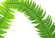 Zbliżenie Zielony paprociowy liść odizolowywający na białym tle kartoteka z ścinek ścieżką i kopia interliniujemy, przestrzeń dla obraz royalty free