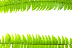 Zbliżenie Zielony paprociowy liść odizolowywający na białym tle kartoteka z ścinek ścieżką i kopia interliniujemy, przestrzeń dla fotografia stock