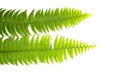 Zbliżenie Zielony paprociowy liść odizolowywający na białym tle kartoteka z ścinek ścieżką i kopia interliniujemy, przestrzeń dla zdjęcie stock