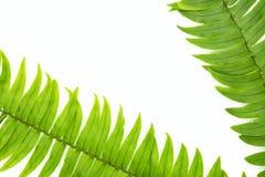 Zbliżenie Zielony paprociowy liść odizolowywający na białym tle kartoteka z ścinek ścieżką i kopia interliniujemy, przestrzeń dla obraz stock