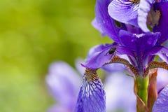 Zbliżenie zwijacz dyszy ściga odwiedza kwitnącego purpurowego irysowego sibirica sibirian irysa przed naturalnym zielonym tłem Obraz Stock