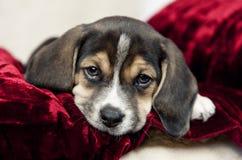 Zbliżenia Beagle szczeniak Zdjęcia Stock