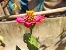 Zbliżenia calendula kwiat Zdjęcia Stock