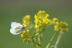 zbliżenia dandelions natury wiosna Ukraine Fotografia Royalty Free
