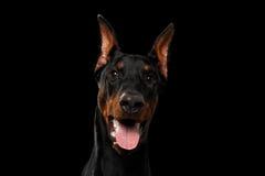 Zbliżenia Doberman Pinscher pies Patrzeje w kamerze na odosobnionym czerni Fotografia Royalty Free