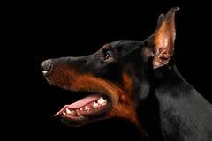 Zbliżenia Doberman Pinscher pies w Profilowym widoku na odosobnionym czerni Zdjęcie Stock