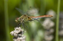 zbliżenia dragonfly Obrazy Royalty Free