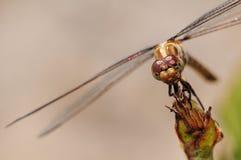 zbliżenia dragonfly Fotografia Royalty Free