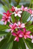 zbliżenia frangipani Zdjęcia Royalty Free
