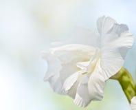 zbliżenia gladiolusa biel Zdjęcie Royalty Free