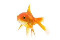 zbliżenia goldfish odosobniony biel Zdjęcia Royalty Free