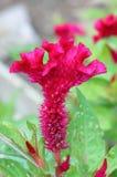 zbliżenia grzebionatki kwiat Obrazy Royalty Free