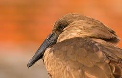 zbliżenia hammerkop Obraz Royalty Free