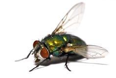 zbliżenia housefly Zdjęcie Stock