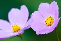 zbliżenia kosmosu kwiatów menchie Zdjęcia Royalty Free