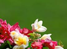 zbliżenia kwiatów fotografii menchii biel Obraz Stock
