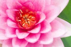 zbliżenia kwiatu lotos Fotografia Stock