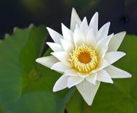 zbliżenia kwiatu lotosowy biel Obraz Royalty Free