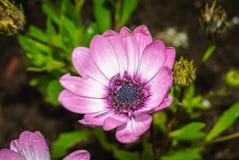 zbliżenia kwiatu menchii sukulent Zdjęcie Stock