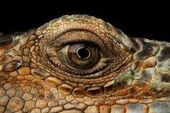Zbliżenia oko Zielona iguana, spojrzenia jak smok Obraz Stock