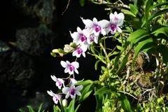 Zbliżenia Orchidaceae w ogródzie Zdjęcie Stock
