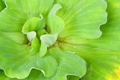 Zbliżenia Ornamentacyjny zielony Obraz Royalty Free