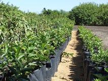 zbliżenia pepiniery plantacja Obrazy Royalty Free
