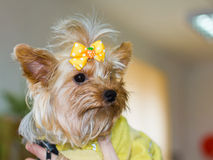 zbliżenia psi portreta terier Yorkshire fotografia stock