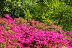 Zbliżenia Rohdodendron kwiat Obraz Stock