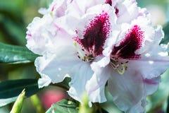 Zbliżenia Rohdodendron kwiat Obrazy Royalty Free