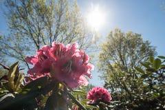 Zbliżenia Rohdodendron kwiat Zdjęcia Stock