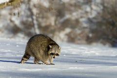 Zbliżenia szop pracz w zimie w Kanada Obraz Royalty Free