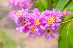 Zbliżenia Tabaek kwiat Zdjęcie Stock
