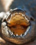 Zbliżenie Agresywny Nil krokodyl Zdjęcia Stock