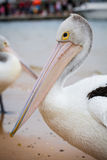 Zbliżenie Australijski pelikan Zdjęcia Stock