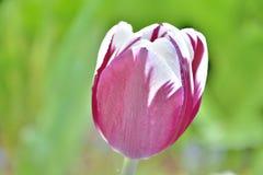 Zbli?enie bia?y i purpurowy tulipan w zielonym gazonie strzela? na pogodnym wiosna dniu fotografia royalty free