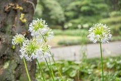 Zbliżenie biali agapantów kwiaty Obrazy Royalty Free