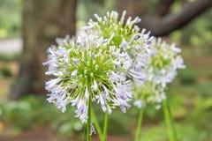 Zbliżenie biali agapantów kwiaty Zdjęcia Stock