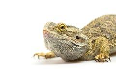 Zbliżenie boczny widok Agama jaszczurka Zdjęcia Stock
