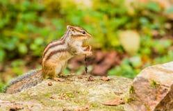 Zbliżenie chipmunk obsiadanie na wielkim kamieniu Fotografia Stock