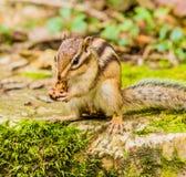 Zbliżenie chipmunk obsiadanie na wielkim kamieniu Fotografia Royalty Free