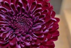 Zbliżenie chryzantemy purpurowy kwiat Zdjęcia Stock