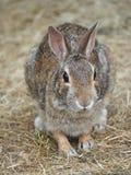 Zbliżenie Cottontail królik Fotografia Royalty Free