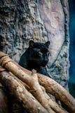 Zbliżenie Czarna pantera Zdjęcia Stock