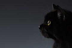 Zbliżenie Czarnego kota twarz w Profilowym widoku na zmroku Fotografia Stock
